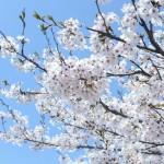 【花見で盛り上がるゲーム4選】サークルの新歓にオススメ!